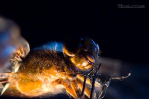 Dragonfly Macro 1 by SullenSquid