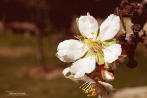 .:: Almond Blossom ::. by DeSSiTa