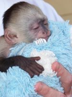 capuchin monkey by piercedpinup