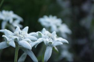 edelweiss by Caoineag