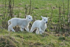 Spring Lambs by DeathCults