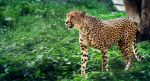 Cheetah on walk by OrangeRoom