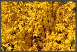 Forsythia by Deidreofthesorrows