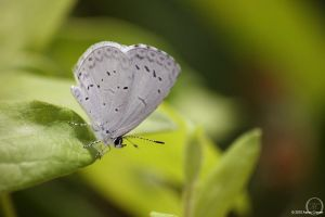 Celastrina neglecta by eagle79