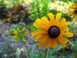 black eyed susan by cha-ohs