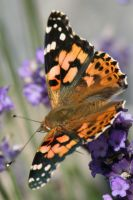 Butterfly Stock 03 by Malleni-Stock