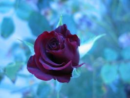 FREE-rose-2 by CDS-stock