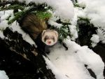 Snow Ferret (: by TheGingerBandit