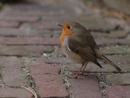 Lonely Robin II by pagan-live-style
