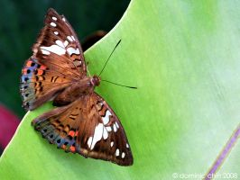 Butterfly by dom90nic