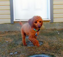Toy Poodle 60 by Andahliasaur
