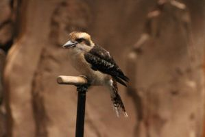 Kookaburra 5 by CastleGraphics
