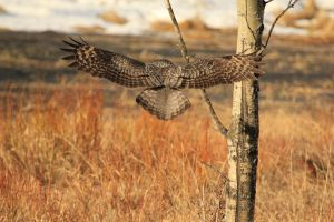 Great Grey Owl in flight by sgt-slaughter