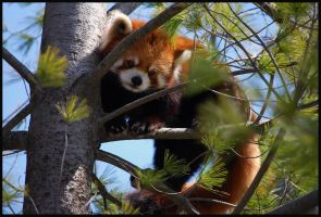 Red Panda by ellyloo