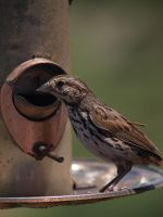 Song Sparrow 7 by photographyflower