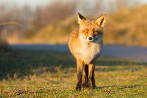 Sunlit Fox by AngelaLouwe