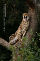 Cheetah by guitarjohnny