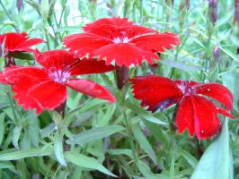 3 little red flowers by taomatsu
