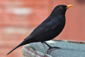 Mr. Blackbird by DeathCults