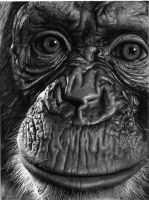 Chimpanzee by Hyppolith