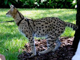 Serval Cat by mandykat