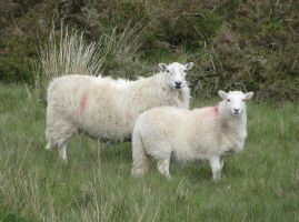 Welsh sheeps by sk4n-t3ch