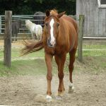 chestnut horse slowly walking by Nexu4