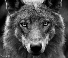 wolf18 by PictureByPali
