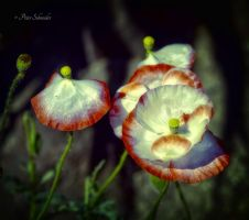 Poppy. by Phototubby