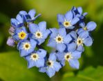 Forget-me-not II by nordfold