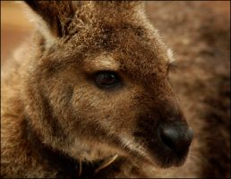 Wallaby Portrait by Bella-Blue