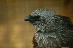 The Apostlebird by DanielleMiner