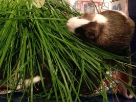 Hungry hungry guinea pigs. by LillyTheOmegaWolf