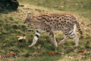 Walking Serval by Predators-Prey