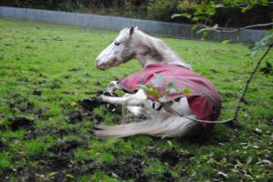 Grey Horse Rolling (2) by emmys-stock