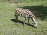 Hartmann's Mountain Zebra by kjtgp1
