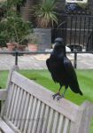 Ravens at The Tower of London II by MaePhotography2010