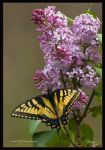 Swallowtail and Lilacs II by TRBPhotographyLLC