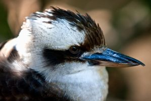Kookaburra by cazzaritch
