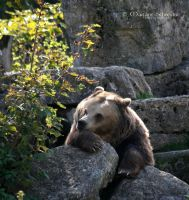 Too hard to be a Bear by MorganeS-Photographe