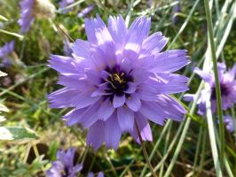 Blue Floral Explosion - Cupid's Dart, Front Garden by SrTw