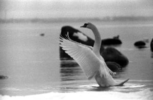 Swan by KNL