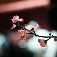 Cherry Blossom by OnMostSurfaces
