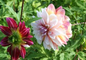 awesome dahlias 20 by ingeline-art