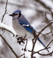 Blue Jay 2 by caillteone