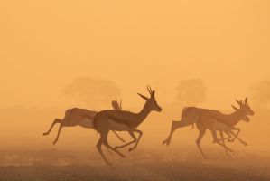 Springbok Sunset - Golden African Wildlife by LivingWild