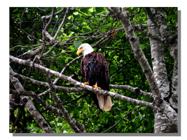 Bald Eagle by WillFactorMedia