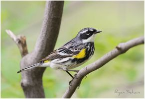 Myrtle Yellow-rumped Warbler by Ryser915