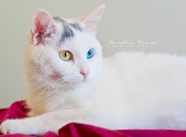 Winnie the Heterochromic Kitty VI by MarthaTuma