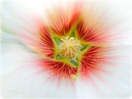 Hollyhock Star by tjsviews
